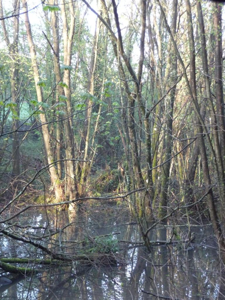 Birch Trees Wade