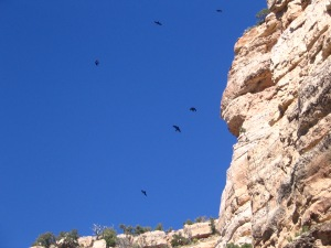 I captured these Ravens soaring over the Grand Canyon.