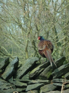 This Pheasant was in a lane I was driving down in Derbyshire.