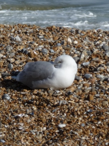 Gull at repose by the English Channel.
