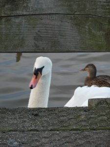 Found this Mute Swan in a pond in Leicestershire.