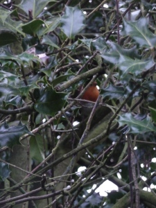 English Robin in a Holly tree.