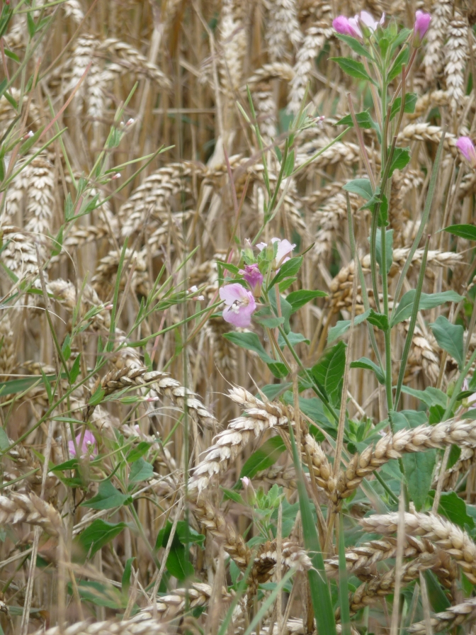 Great Willowherb and Wheat. I think it's wheat. What do I know.
