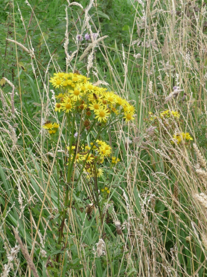 Common Ragwort. Wonderful, natural bouquets - and very poisonous from what I hear.