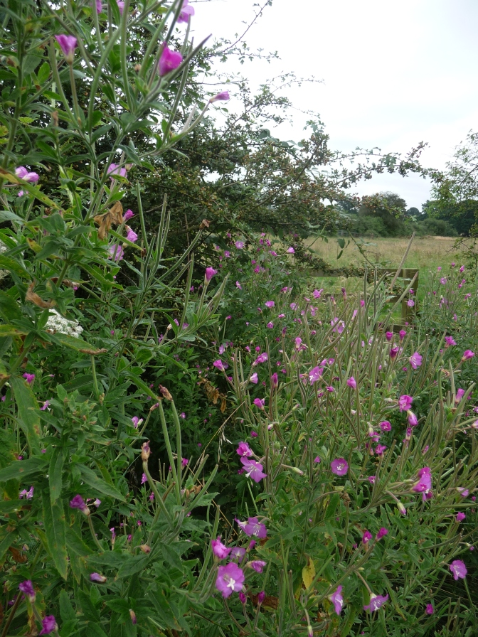 A Mass of Willowherb.