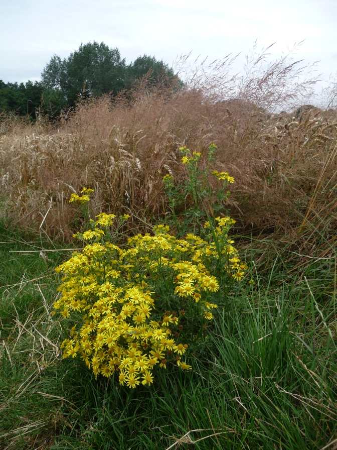 A Bunch of Ragwort.