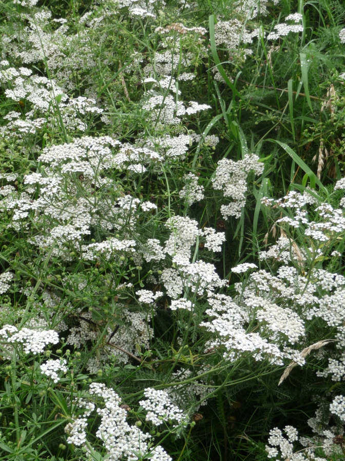 A Ton of Yarrow (and maybe some Queen Anne's Lace).