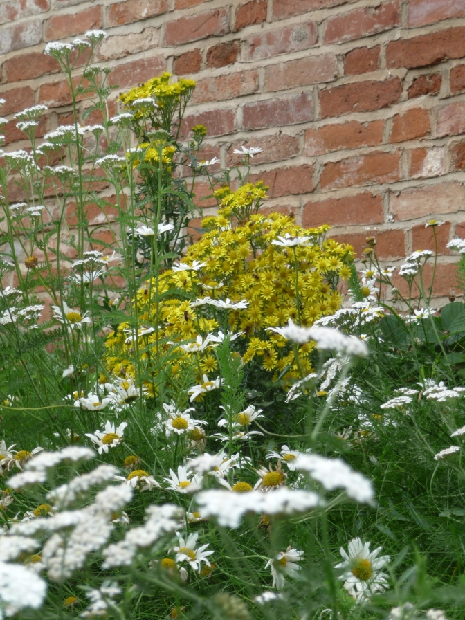Ragwort, Daisies and Yarrow.