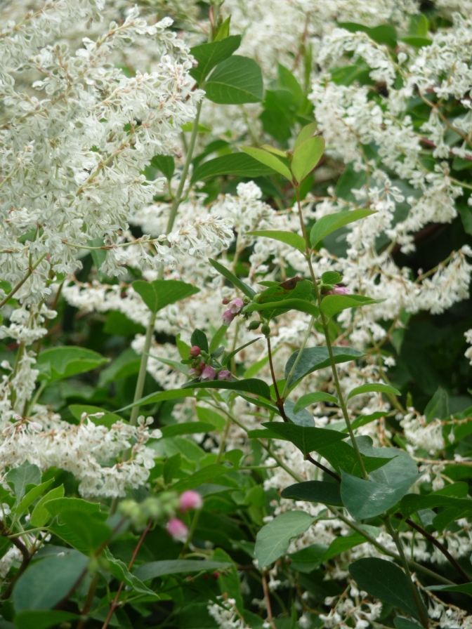 Cowberry and I Wish I Knew. I really do. I can't find the white bush in my book anywhere.
