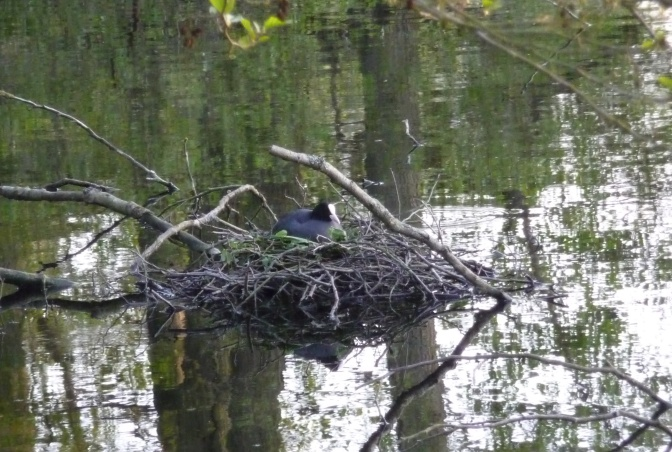 Mama Coot sits on her nest.