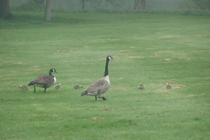 Just a couple of days old, the goslings are just taller than the grass.