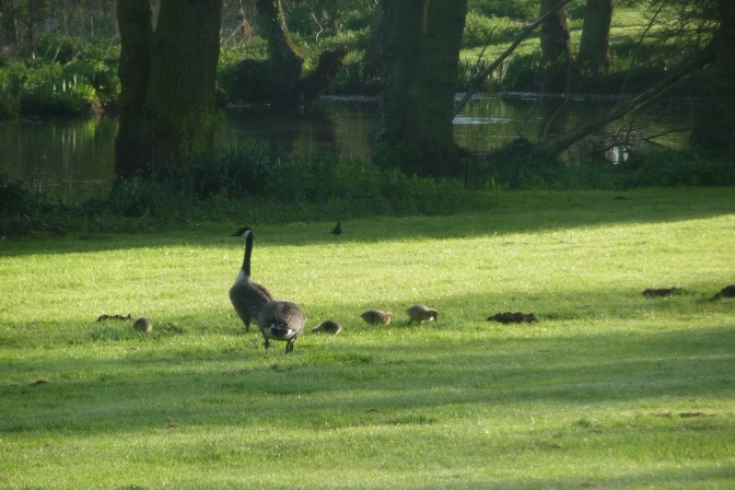 Five days after I first saw them, their legs are stronger and Mama and Papa Goose let them go a little farther afield
