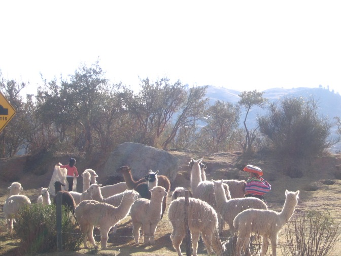 A mix of llamas and alpaca are looked after by their humans. The camera was still having exposure issues, but it makes the animals glow, so I don't mind.