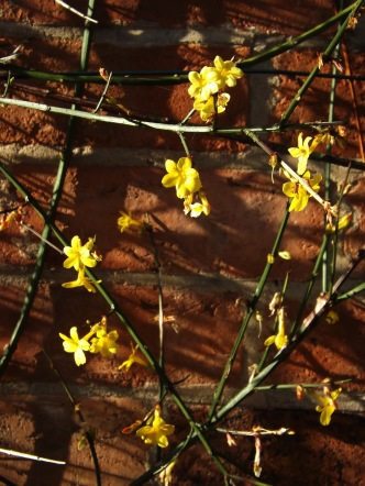 They bloom in January - Winter Jasmine. Makes me think of a Japanese painting.