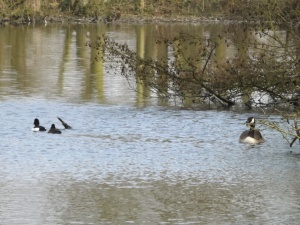 The tufted ducks have come by and were preening on a log sticking out of the water until I came back.