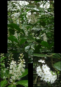 This is a complete and utter confusion of white. The Blackthorn and Cherry Laurel blossoms compete in the most wonderful way.