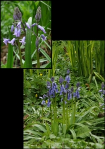It's Bluebell time and they are everywhere.