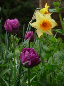 Daffodil and a purple Parrot Tulip.