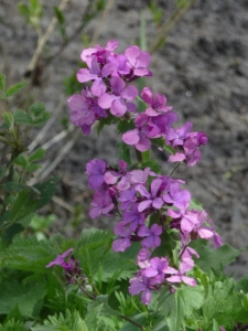 I think this is Dame's Violet. Please correct me if I'm wrong.