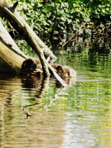 These two were the first to find  this log in the sun and climb aboard - Tom and Huck on their raft.