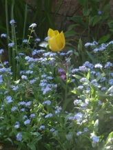 The Tulip seems to float in a sea of Forget-Me-Nots.