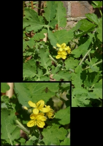 By a garden wall, Greater Celandine basks in the sun.