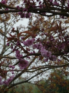I call this 'Powerfully Pink' because the leaves are almost pink, too on this Japanese Cherry.