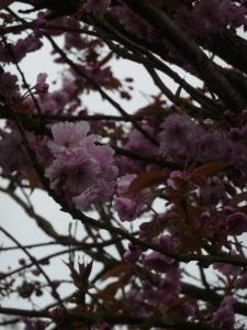 The blossoms are delicate, like silk.