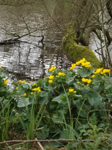 Marsh Marigolds by the side of a pond.
