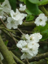 Wild Cherry. It was a sweetly scented walk.