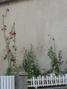 Just some hollyhocks in a garden, but pretty.