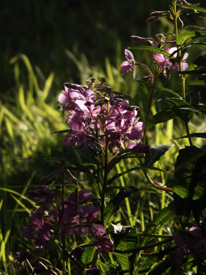 It blooms in July; Great Willowherb seems to glow with colour, but in this moment at the end of a day, it truly seems to create its own light.