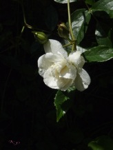 White roses represent purity and innocence; this rose, directly after a rain seems to epitomise that.