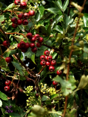I don`t know what they are, but every year I look forward to watching the berries take on their Autumn colours.