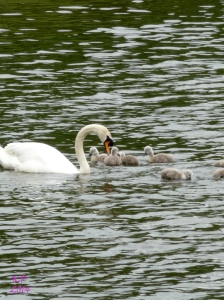 The down on the Cygnets works with their colouring to help them blend with the water.