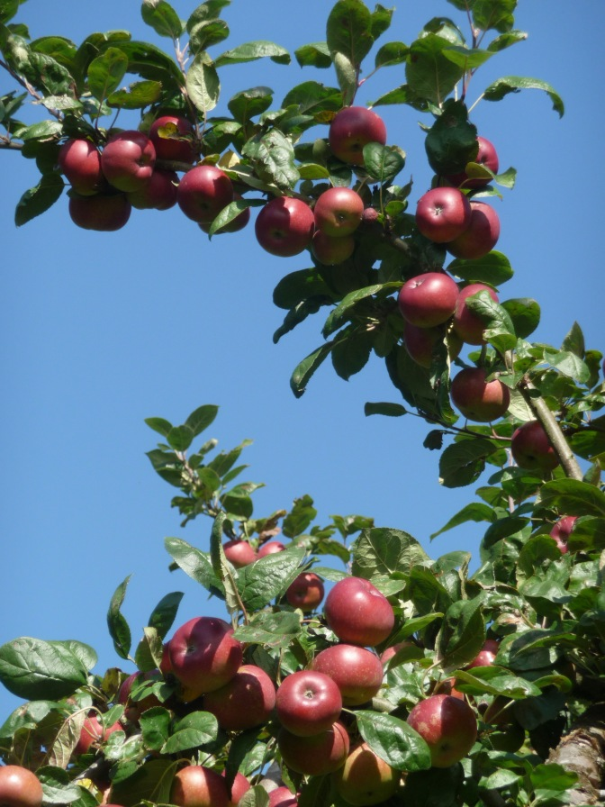 Apples ripe enough to pick.
