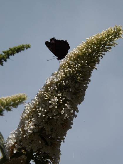 a Peacock Butterfly lands at a precarious angle on a spike of Buddleia.