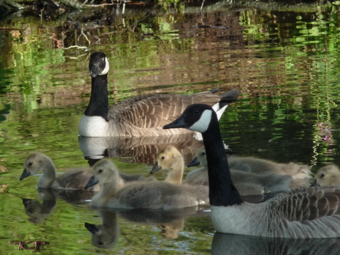June 2 - The Goslings', like all water babies, are completely comfortable in water. Especially with Mama and Papa watchfully close.