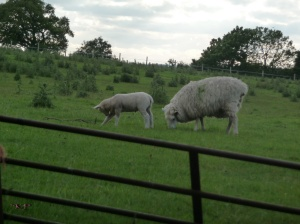 A rare shot of a ewe and her lamb that isn't of them running away.