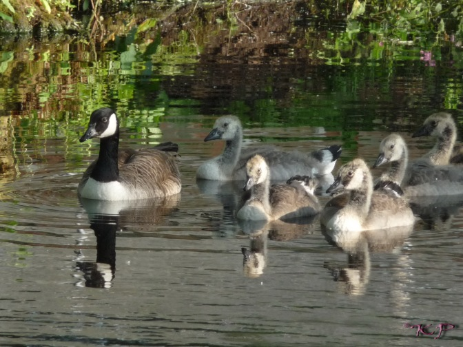 June 19 - The goslings are beginning to develop their adult colouring. The one I came to think of as Dad's 'Lieutenant' because he was always in the front with Dad is on the right.