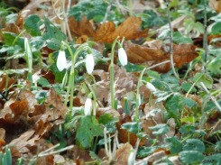 A walk in a woody area last week saw the first snowdrops peaking out from last year's leaves.