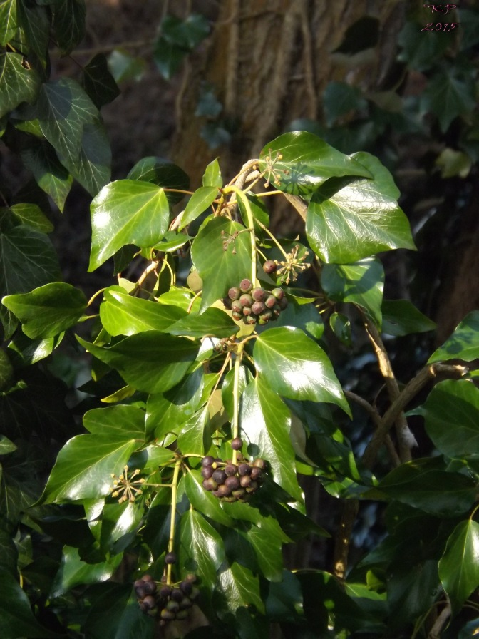 Hedera Hibernica to those who know these things, I didn't know that any ivy flowered, let alone had berries - don't eat them, by the way.
