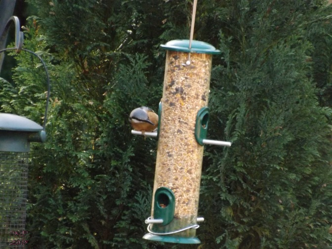 Intrigued, this normally nervous Nuthatch isn't even aware I am there as he tries to suss out the food.