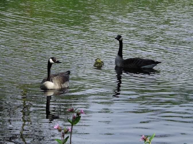 At first, they linger back, close to Mama Trixie. Norton watches as a friend comes to the edge of the pond.