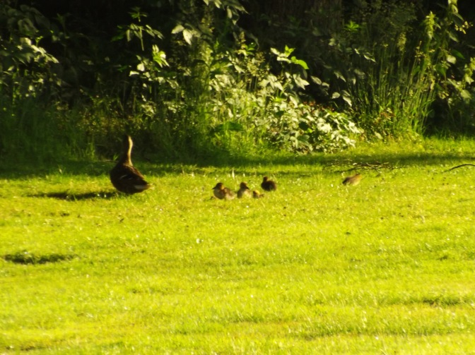 The next morning, I saw the newest duck family. Five of them!