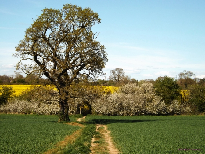 The Rapeseed in late May turns the field to a magical place, reached through a Hawthorne hedge, on a footpath past an Oak. How perfect is that.