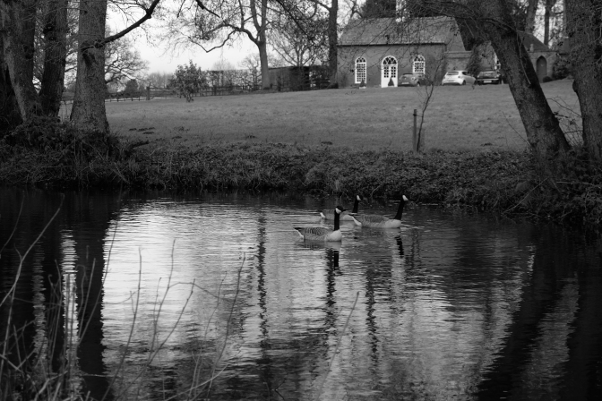Trixie, Norton and Spike last week. We're certain it's them. They came right toward me as soon as I appeared and followed me the length of the pond. I hadn't taken seed with me as I was on a mission to capture my black and white landscape. My last shot of them is of three battle cruisers coming right for me in a shot taken of the full length of the pond from the far end.