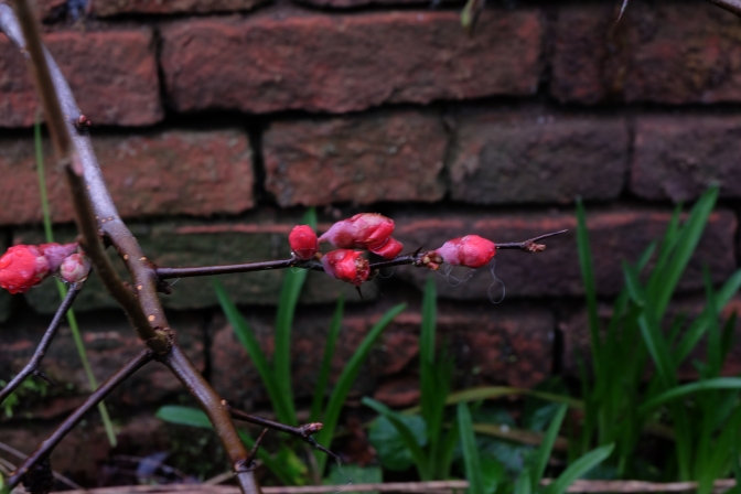 These usually bloom in late Spring, but these began to bud in January.