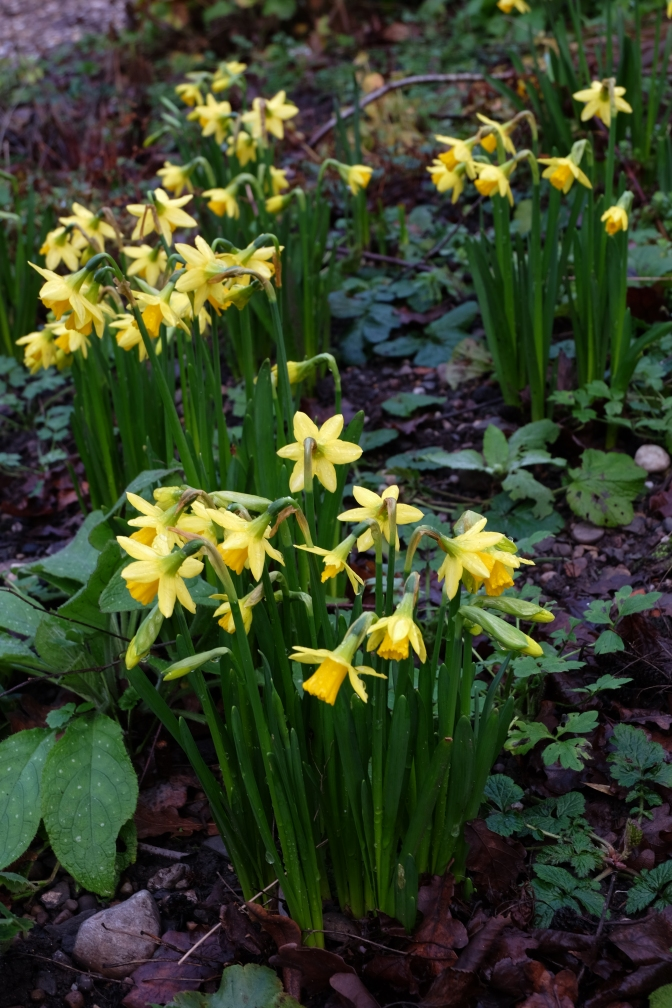 The year I moved here, I was amazed to see Daffodils blooming in late February. Unheard of for this Canuck. These sprouted in December.