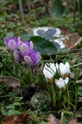 Crocusses bring an incredible joy.